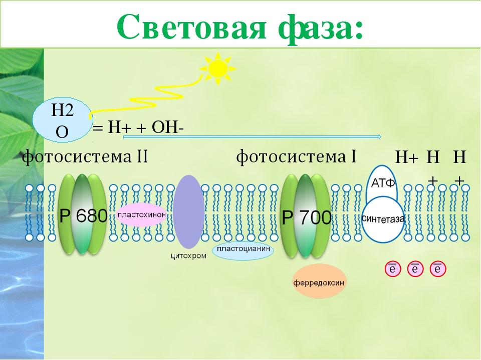 7. Протоны водорода накапливаются внутри тилакоида, создавая Н+-резервуар. В...