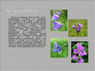 Висят на длинном стебле голубые цветы, действительно похожие на маленькие ко