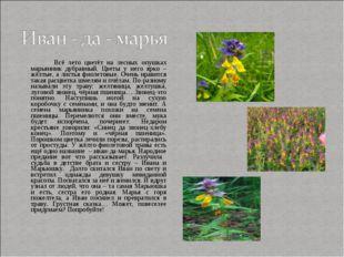 Всё лето цветёт на лесных опушках марьянник дубравный. Цветы у него ярко – ж