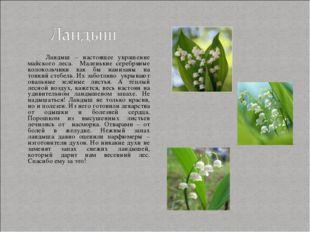 Ландыш – настоящее украшение майского леса. Маленькие серебряные колокольчик