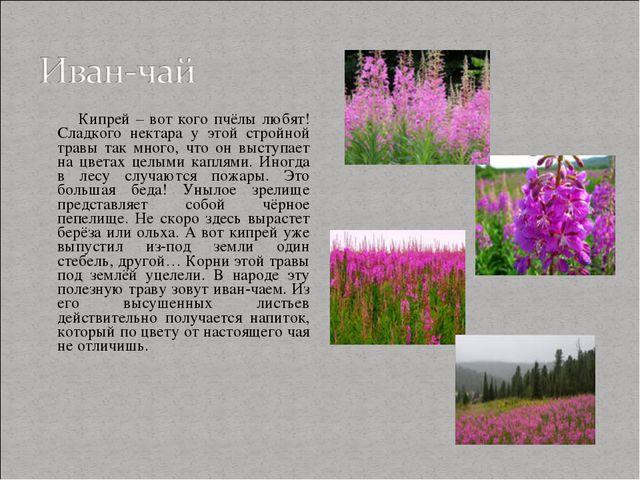 Кипрей – вот кого пчёлы любят! Сладкого нектара у этой стройной травы так мн...