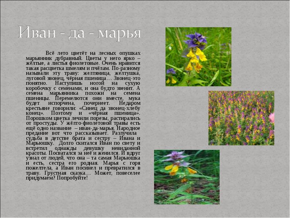 Всё лето цветёт на лесных опушках марьянник дубравный. Цветы у него ярко – ж...