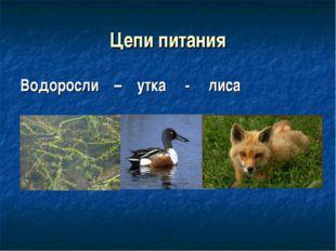 Цепи питания Водоросли – утка - лиса