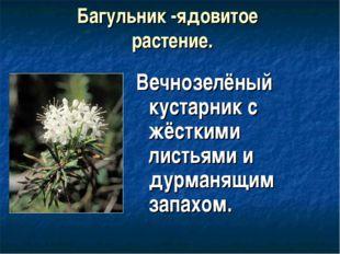Багульник -ядовитое растение. Вечнозелёный кустарник с жёсткими листьями и ду