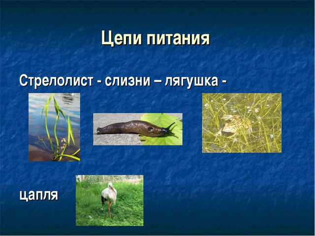 Цепи питания Стрелолист - слизни – лягушка - цапля