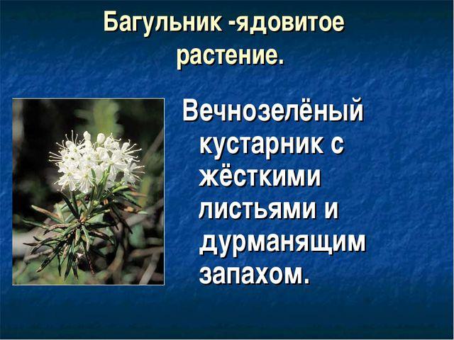 Багульник -ядовитое растение. Вечнозелёный кустарник с жёсткими листьями и ду...