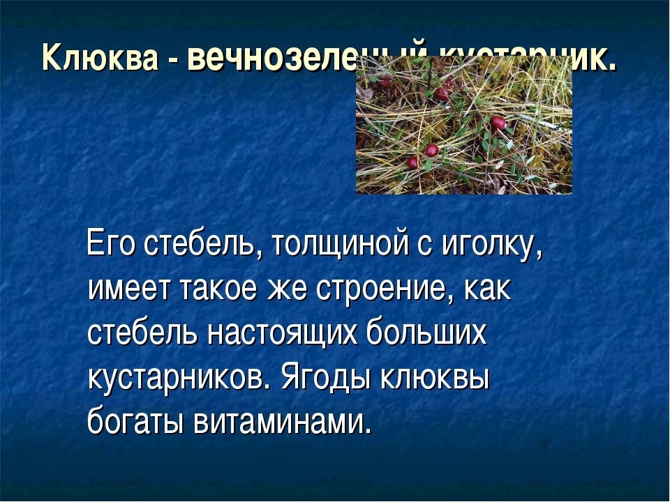 Клюква - вечнозеленый кустарник. Его стебель, толщиной с иголку, имеет такое...