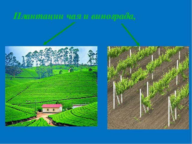 Плантации чая и винограда,
