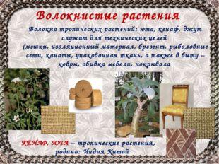 Волокнистые растения КЕНАФ, ЮТА – тропические растения, родина: Индия Китай В