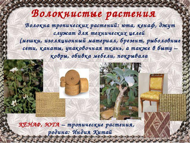 Волокнистые растения КЕНАФ, ЮТА – тропические растения, родина: Индия Китай В...