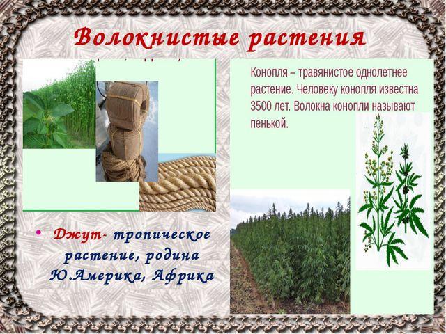 Волокнистые растения Джут- тропическое растение, родина Ю.Америка, Африка