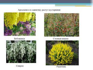 Ареалами и в одиночку растут кустарники: Бобовники Степная вишня Спирея Ракит
