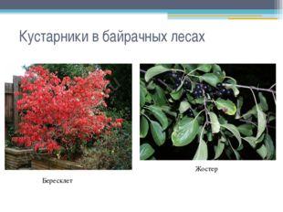 Кустарники в байрачных лесах Бересклет Жостер