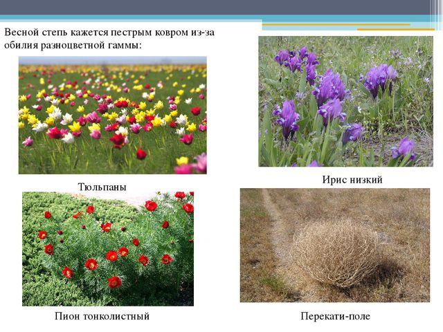Весной степь кажется пестрым ковром из-за обилия разноцветной гаммы: Тюльпаны...