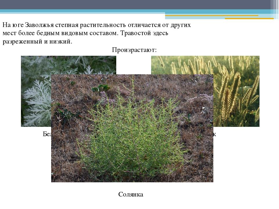 На юге Заволжья степная растительность отличается от других мест более бедным...