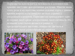 Первоцветы используются человеком в основном как красиво цветущие декоративны
