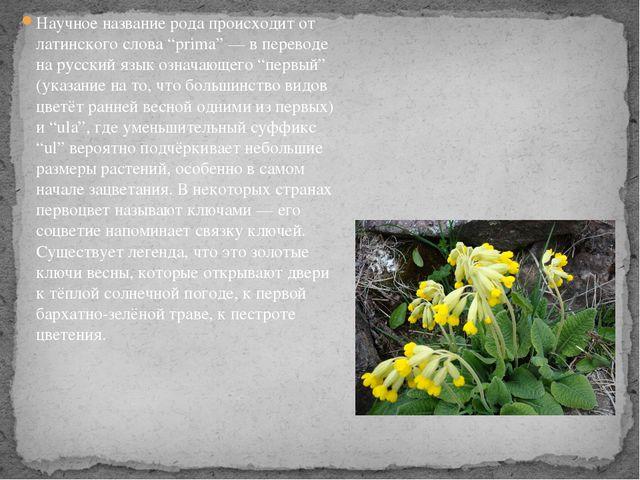 """Научное название рода происходит от латинского слова """"prima"""" — в переводе на..."""