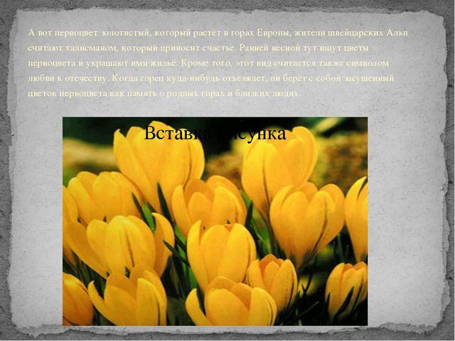 А вот первоцвет золотистый, который растёт в горах Европы, жители швейцарских...