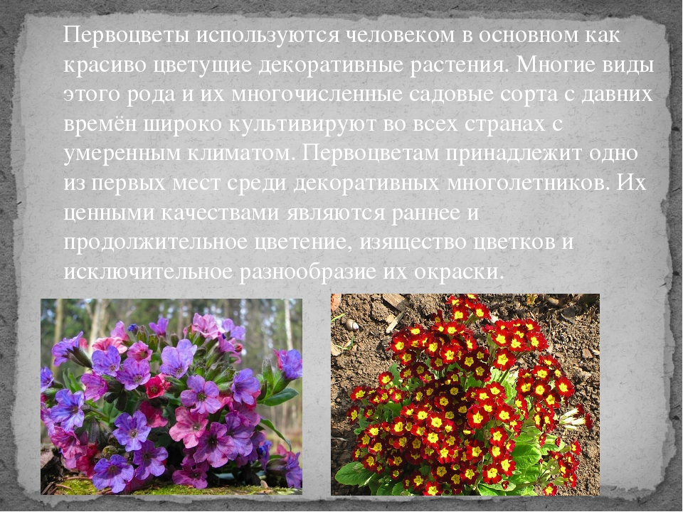 Первоцветы используются человеком в основном как красиво цветущие декоративны...