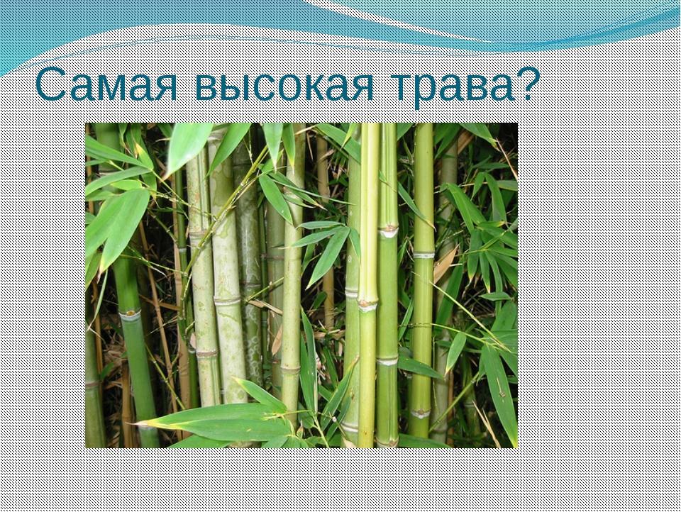 Самая высокая трава?