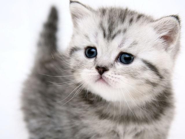 Фото Животные - Серый котёнок, котенок, красивые фото и картинки Серый котёнок скачать