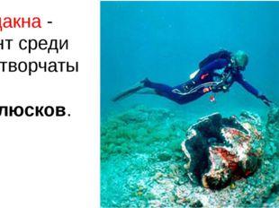Тридакна - гигант среди двустворчатых моллюсков.