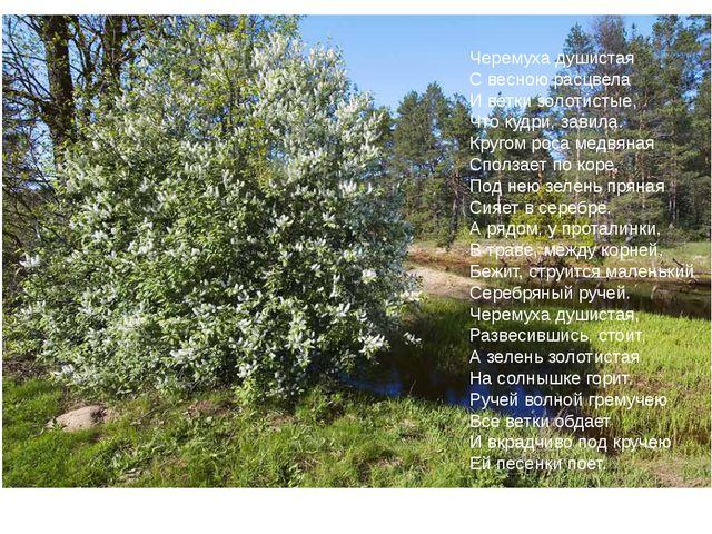 Черемуха душистая С весною расцвела И ветки золотистые, Что кудри, завила. К...