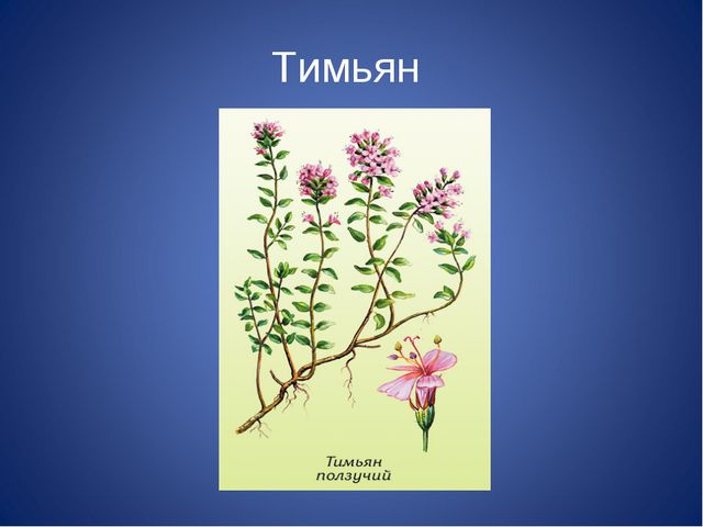 Тимьян