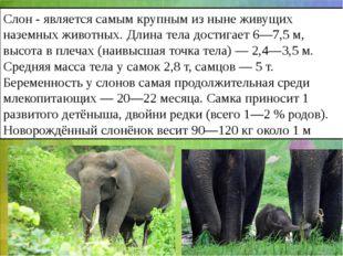 Слон- является самым крупным из ныне живущих наземных животных. Длина тела д