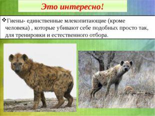 Это интересно! Гиены- единственные млекопитающие (кроме человека) , которые у