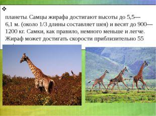 Жира́ф- является самым высоким наземным животным планеты. Самцы жирафа достиг