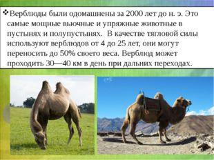 Верблюды были одомашнены за 2000 лет дон.э. Это самые мощные вьючные и упря