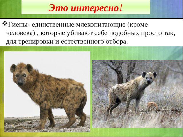 Это интересно! Гиены- единственные млекопитающие (кроме человека) , которые у...