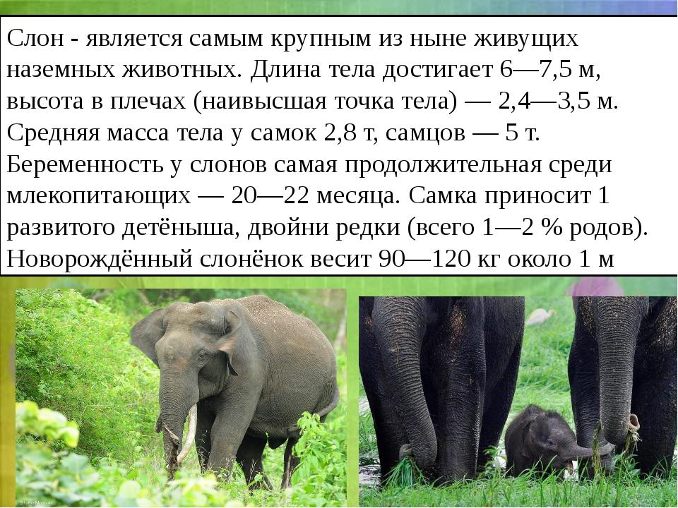 Слон- является самым крупным из ныне живущих наземных животных. Длина тела д...