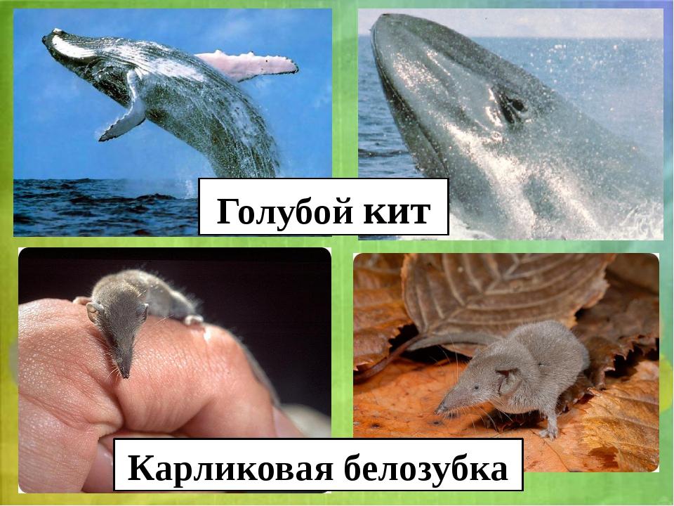 Голубой кит Карликовая белозубка