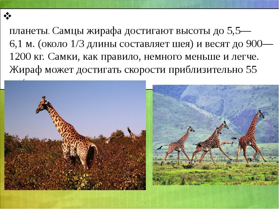 Жира́ф- является самым высоким наземным животным планеты. Самцы жирафа достиг...