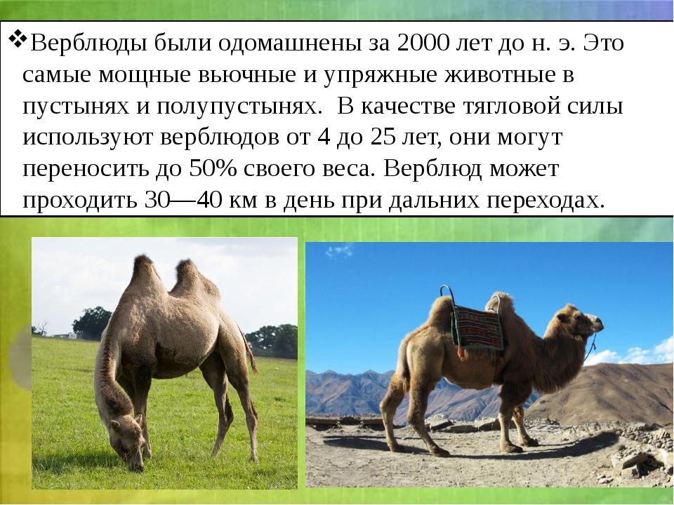Верблюды были одомашнены за 2000 лет дон.э. Это самые мощные вьючные и упря...