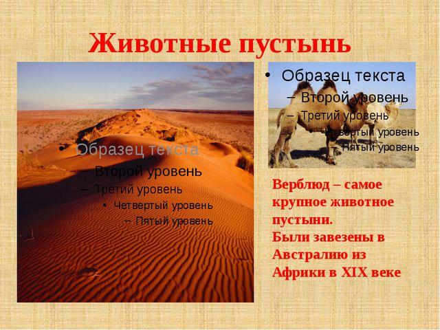 Животные пустынь Верблюд – самое крупное животное пустыни. Были завезены в Ав...