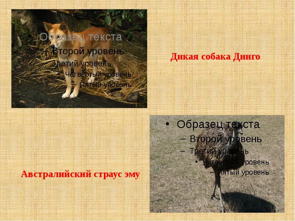 Дикая собака Динго Австралийский страус эму