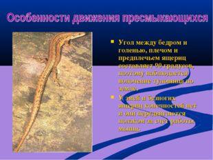 Угол между бедром и голенью, плечом и предплечьем ящериц составляет 90 градус