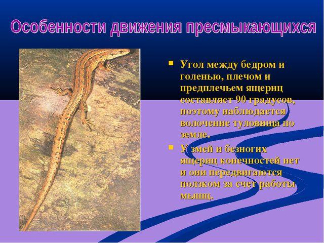 Угол между бедром и голенью, плечом и предплечьем ящериц составляет 90 градус...