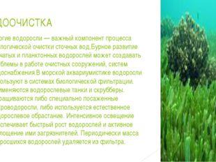 ВОДООЧИСТКА Многие водоросли— важный компонент процесса биологической очистк