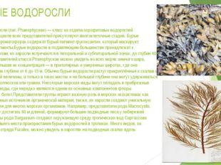 БУРЫЕ ВОДОРОСЛИ Бурые водоросли(лат.Phaeophyceae)— класс из отделаохрофит
