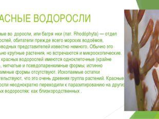 КРАСНЫЕ ВОДОРОСЛИ Кра́сные во́доросли, илибагря́нки(лат.Rhodóphyta)— отде