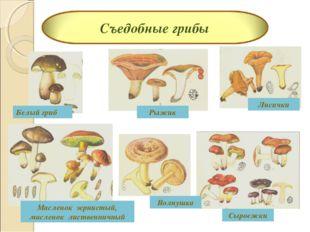 Белый гриб Масленок зернистый, масленок лиственничный Волнушка Лисички Рыжик