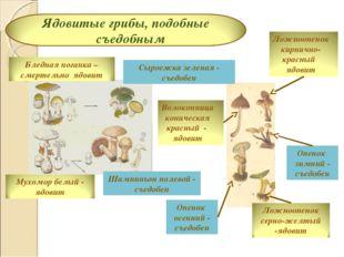Шампиньон полевой - съедобен Сыроежка зеленая - съедобен Опенок зимний - съед