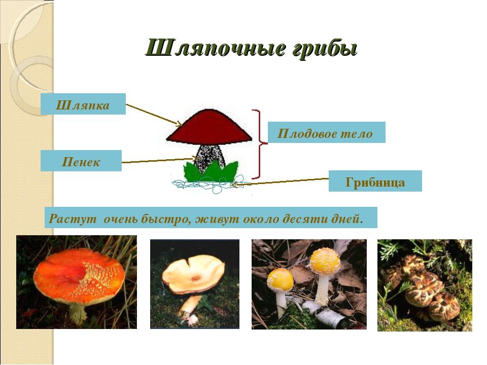 Шляпочные грибы Плодовое тело Шляпка Пенек Грибница Растут очень быстро, живу...