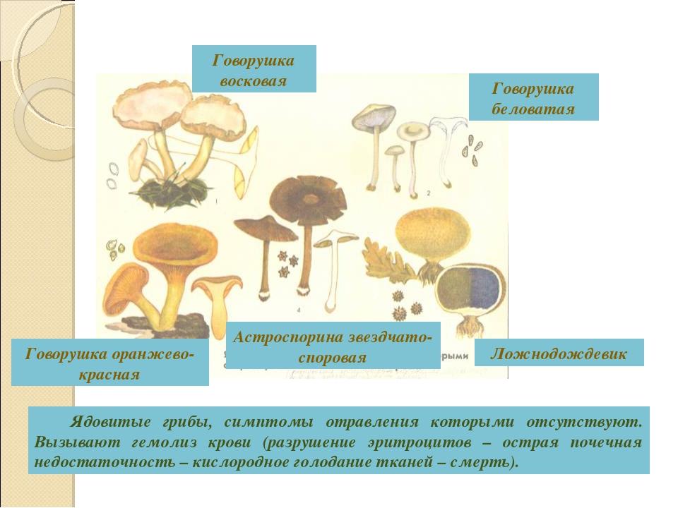 Ядовитые грибы, симптомы отравления которыми отсутствуют. Вызывают гемолиз к...