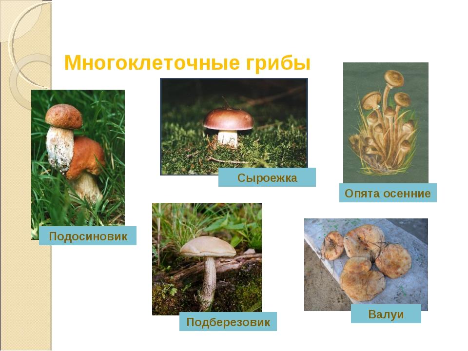 Многоклеточные грибы Подберезовик Валуи Подосиновик Сыроежка Опята осенние