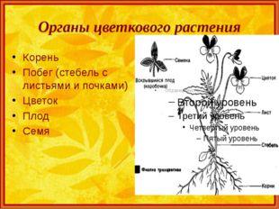 Органы цветкового растения Корень Побег (стебель с листьями и почками) Цветок